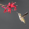 Ruby-throated Hummingbird at a Cardinal Flower