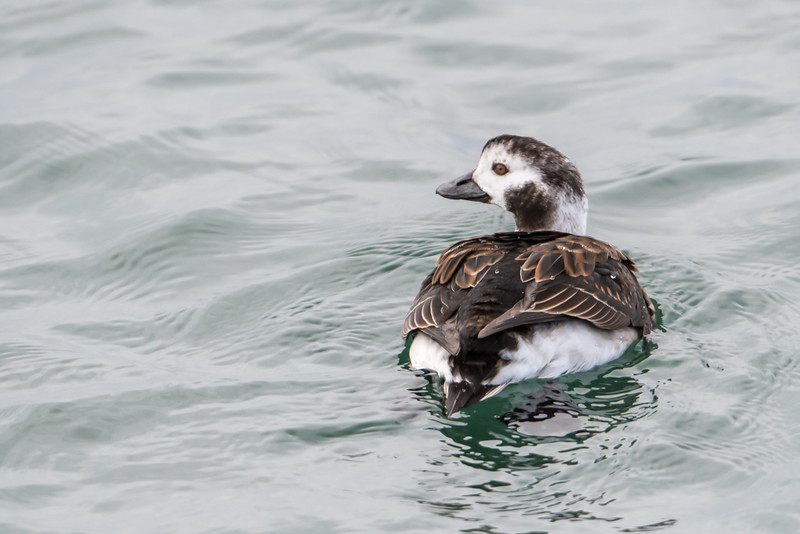 Long-tailed duck (female)