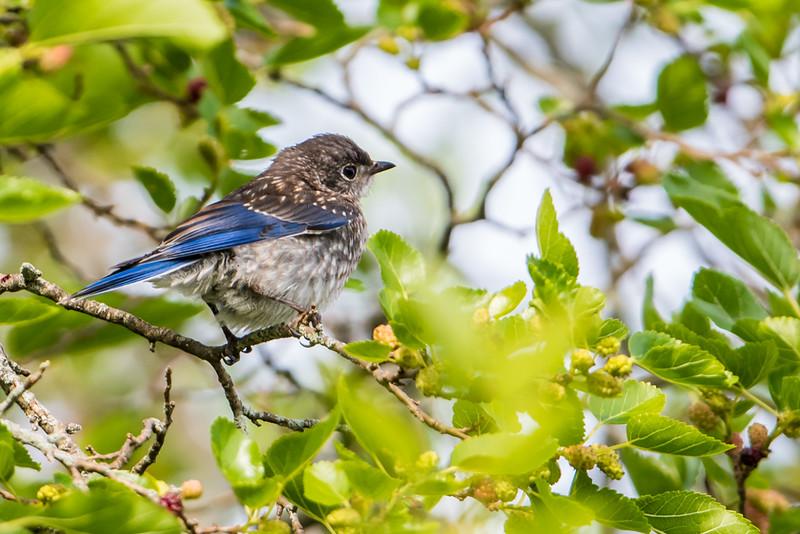 Immature Bluebird