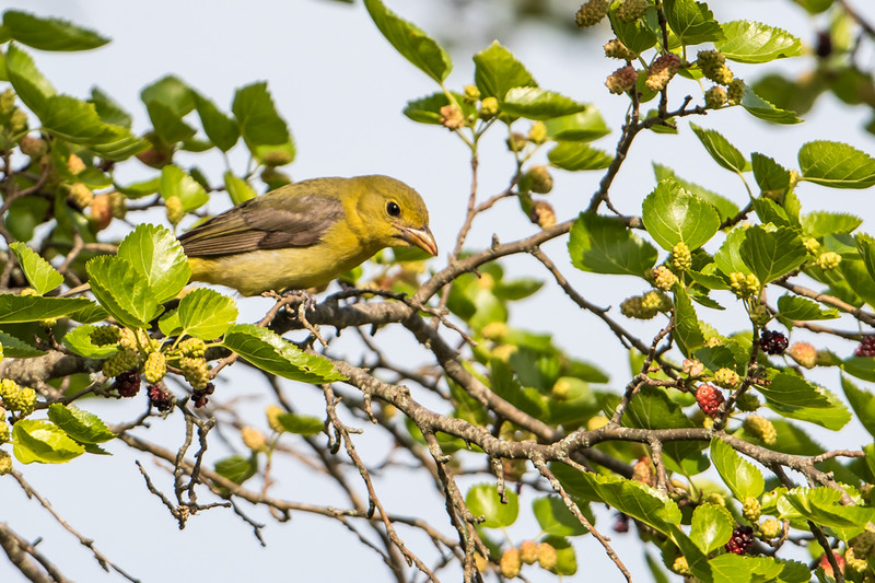 Scarlet Tanager F