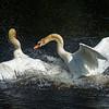 Swan fight