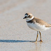 lmated Plover