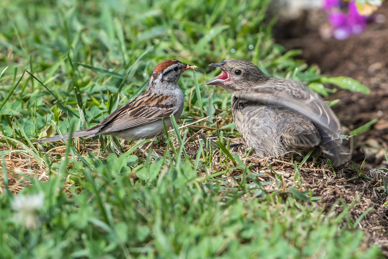 Chipping sparrow feeding Brown-headed Cowbird chick
