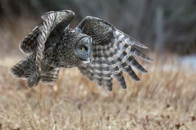 Great Gray Owl takeoff