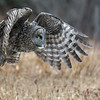 Great Gray Owl takeoff