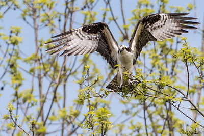 Big Osprey on a little branch