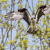 Big Osprey on a little branch