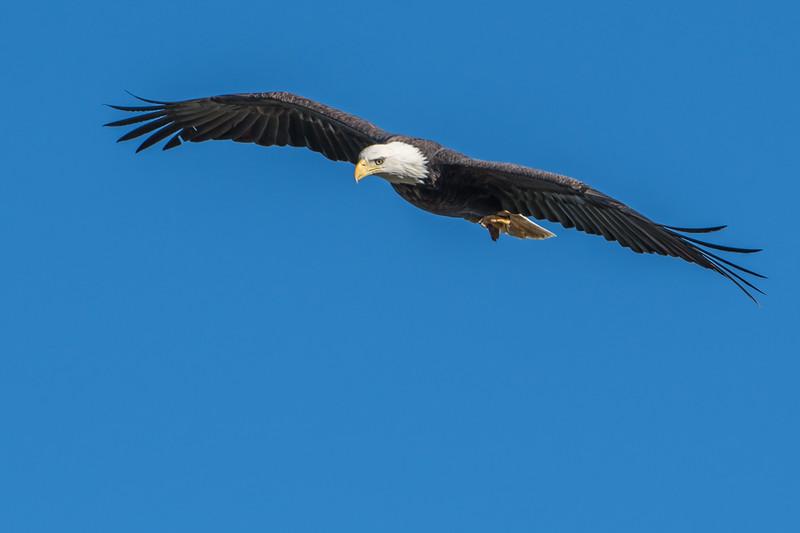 Cruising Eagle