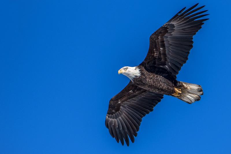 Bald Eagle cruising