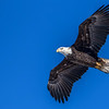 Bald Eagle cruising