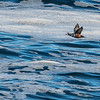 Harlequin Duck Fly-by