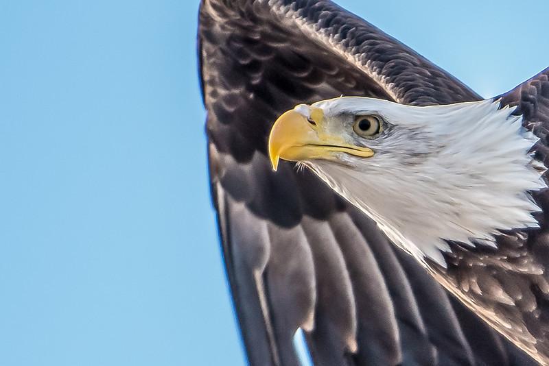 Bald eagle, tight crop