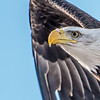 Bald eagle, tight crop