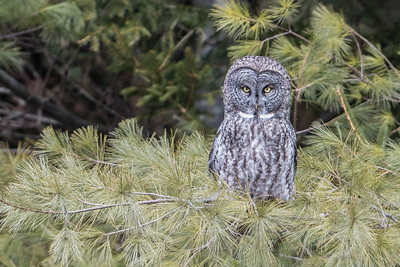 Great Gray Owl in pine