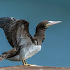 Brown Booby stretch