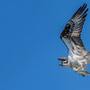 Osprey and Alewife