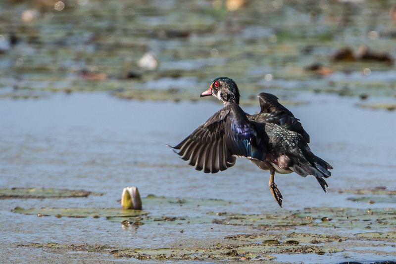 Young male wood duck