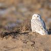 Snowy Owl on dune