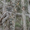 Great Gray camoflage