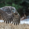 Great Gray Owl flight