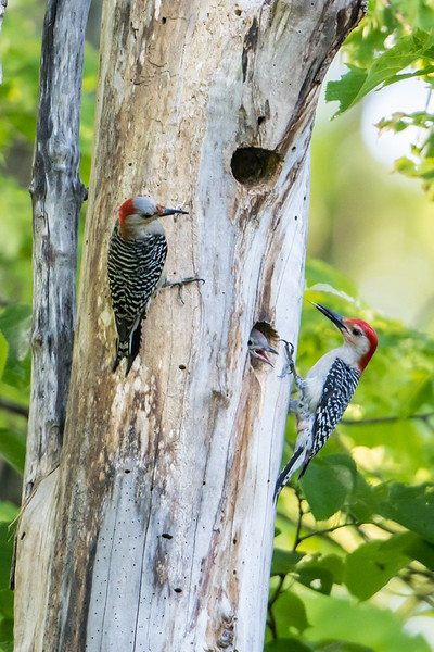 Red-bellied Woddpecker family