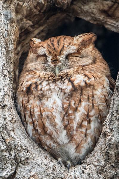 Red-morph Screech Owl