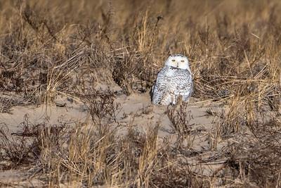 Snowy Owl in the dunes