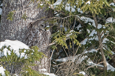 Great Gray Owl ,Extreme Camo