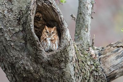 Red-morph Sreech Owl