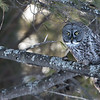Great Gray Owl, ready to fly