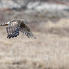 Female Northern Harrier Hawk