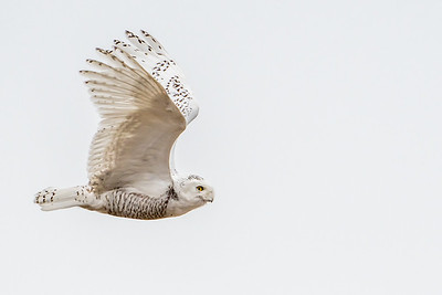Snowy Fly by