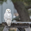 Snowy Owl on picinic table