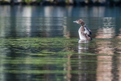 Loon Chick stretching it's wings