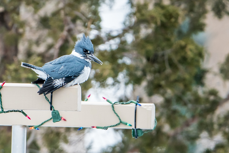 Holiday Kingfisher
