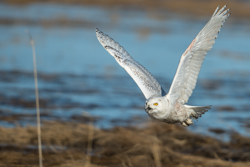 Incoming Snowy Owl