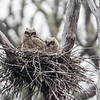 Two Great Horned Owlets