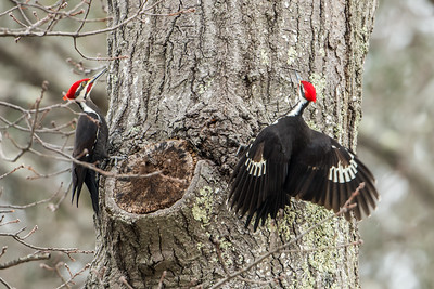 Two Pileated Woodpeckers