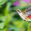 Hatch year Ruby-throated Hummingbird