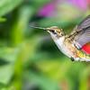 Hatch year Ruby-throated Hummingbird
