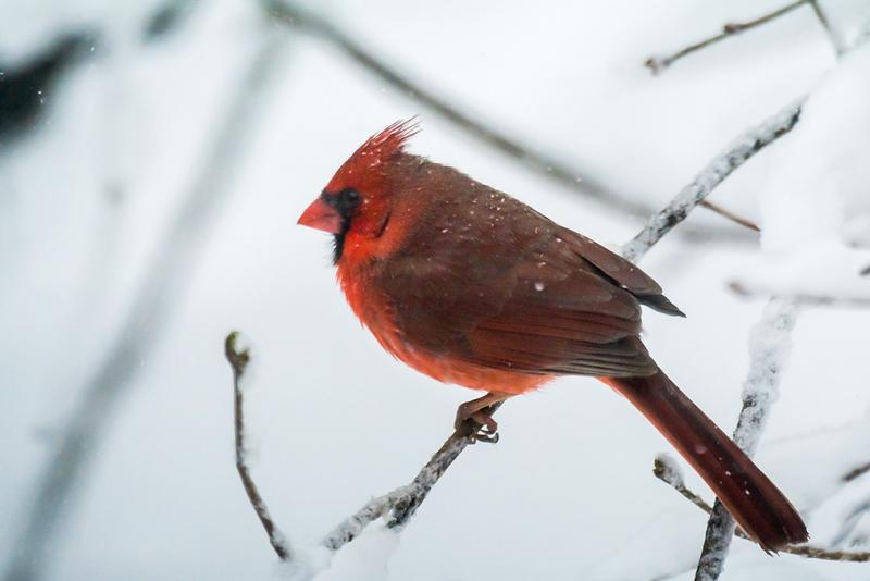 Northern cardinal, (male)