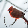 Northern cardinal, (male)
