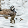 Blue-winged Teal (Male)