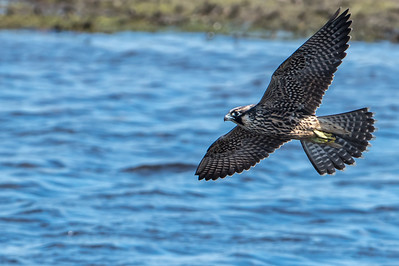 Peregrine in flight