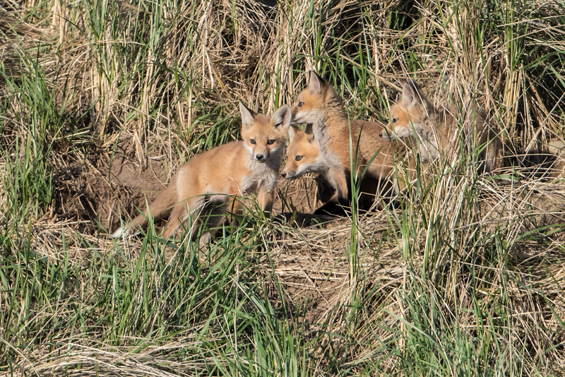Four Fox Kit