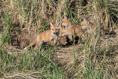 Four Fox Kit