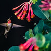 Ruby-throated Hummingbird