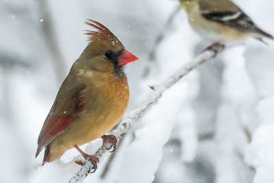 Northern cardinal, (female)