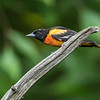 Oriole on a stick