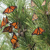 A Flutter of Monarchs